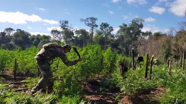 Operação destruiu em um dia 70 toneladas de plantação de maconha na fronteira